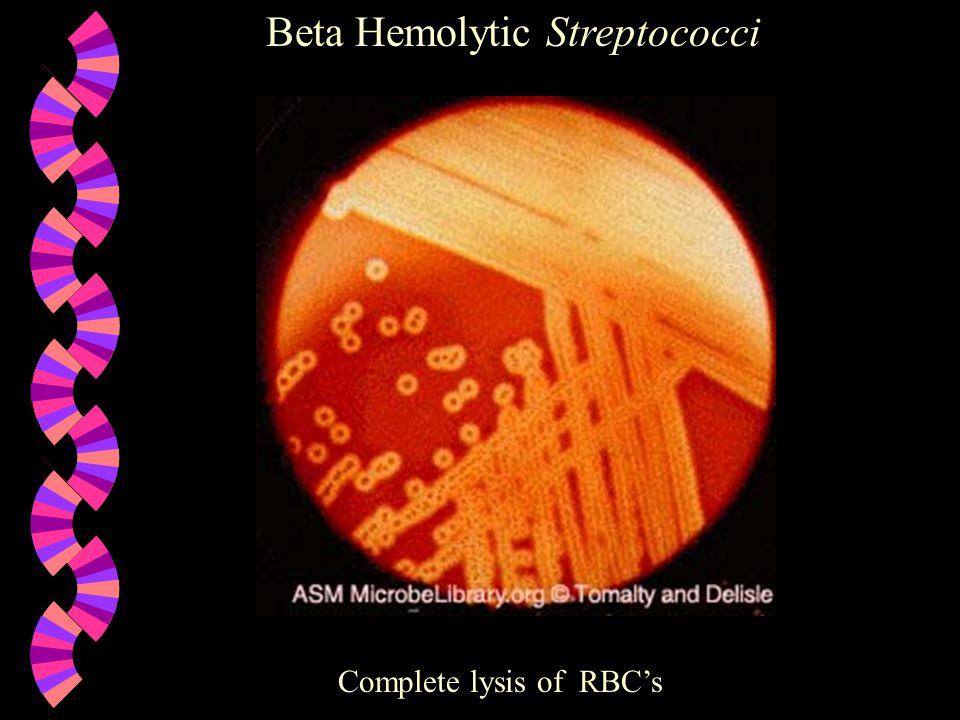 Beta Hemolytic Streptococci