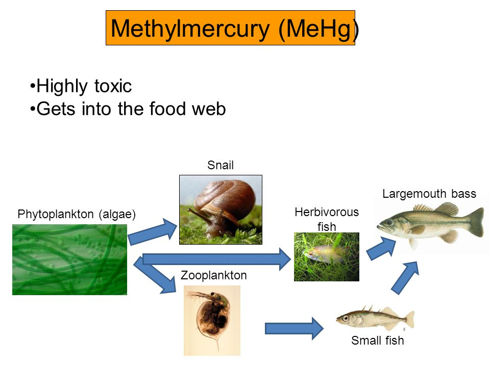 tuna for lunch a case study examining mercury bioaccumulation and biomagnification
