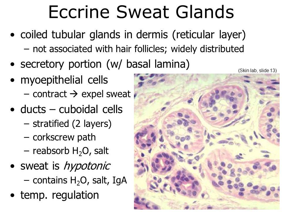 Nice Eccrine Sweat Gland Photos Internal Organs Diagram