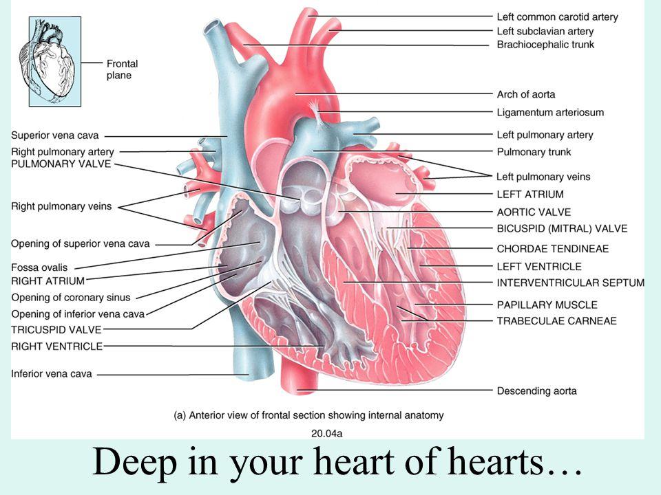 Internal Anterior Diagram Of Heart Circuit Connection Diagram