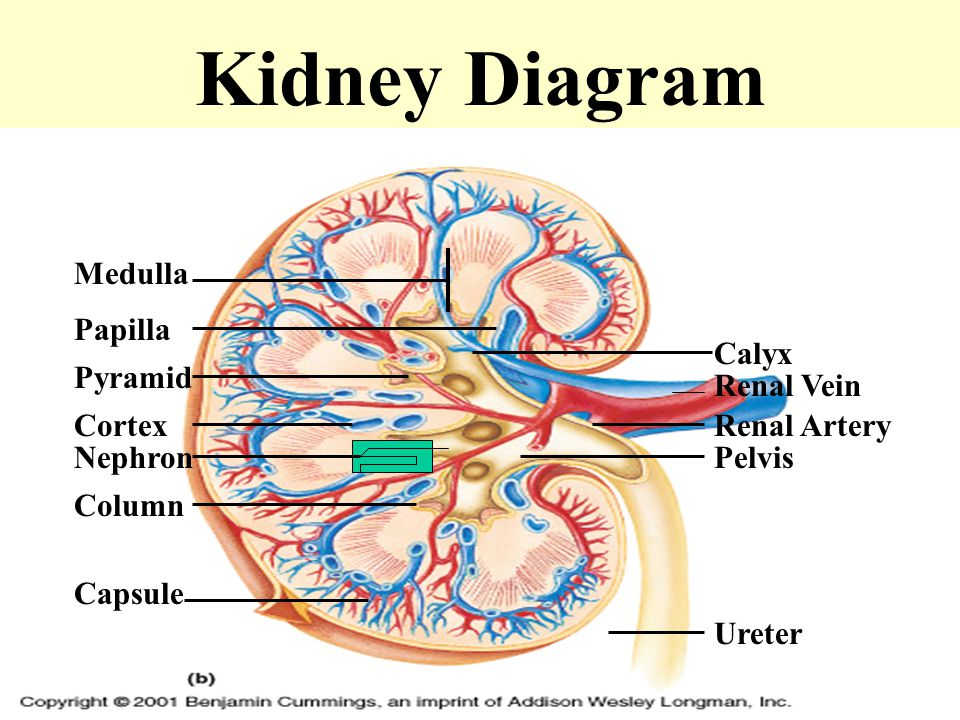 The urinary system by khaled na3im ppt video online download 14 kidney diagram medulla papilla calyx ccuart Image collections