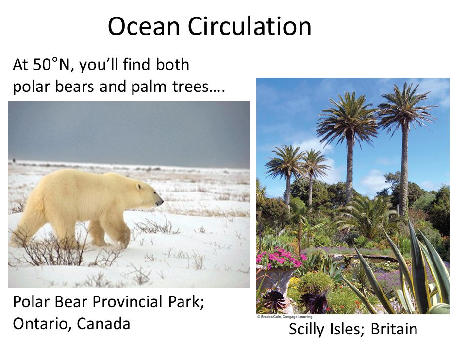 Ocean Circulation At 50°N, you'll find both polar bears and palm trees…. Polar Bear Provincial Park; Ontario, Canada.