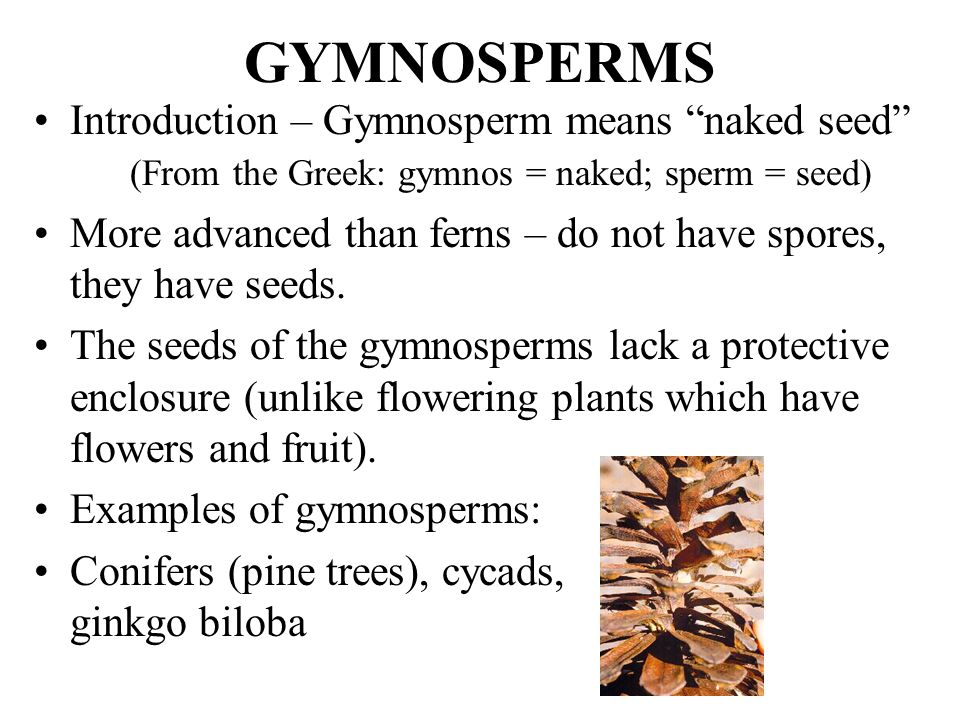 12 Gymnosperms And Angiosperms Ppt Video Online Download