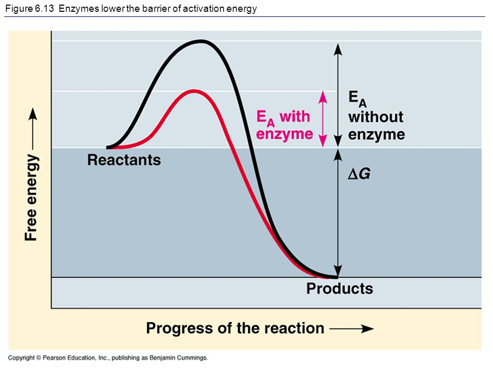 Exergonic reaction with enzyme