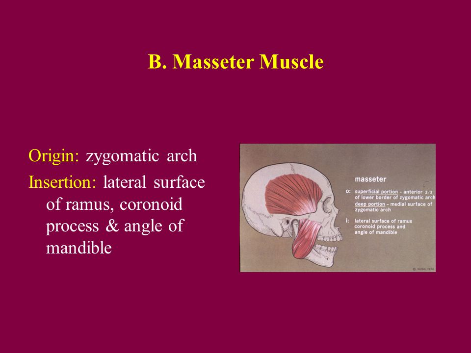 Masticatory Anatomy Ppt Video Online Download