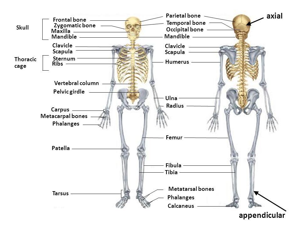 To Name All Of Our 206 Bones Ppt Video Online Download