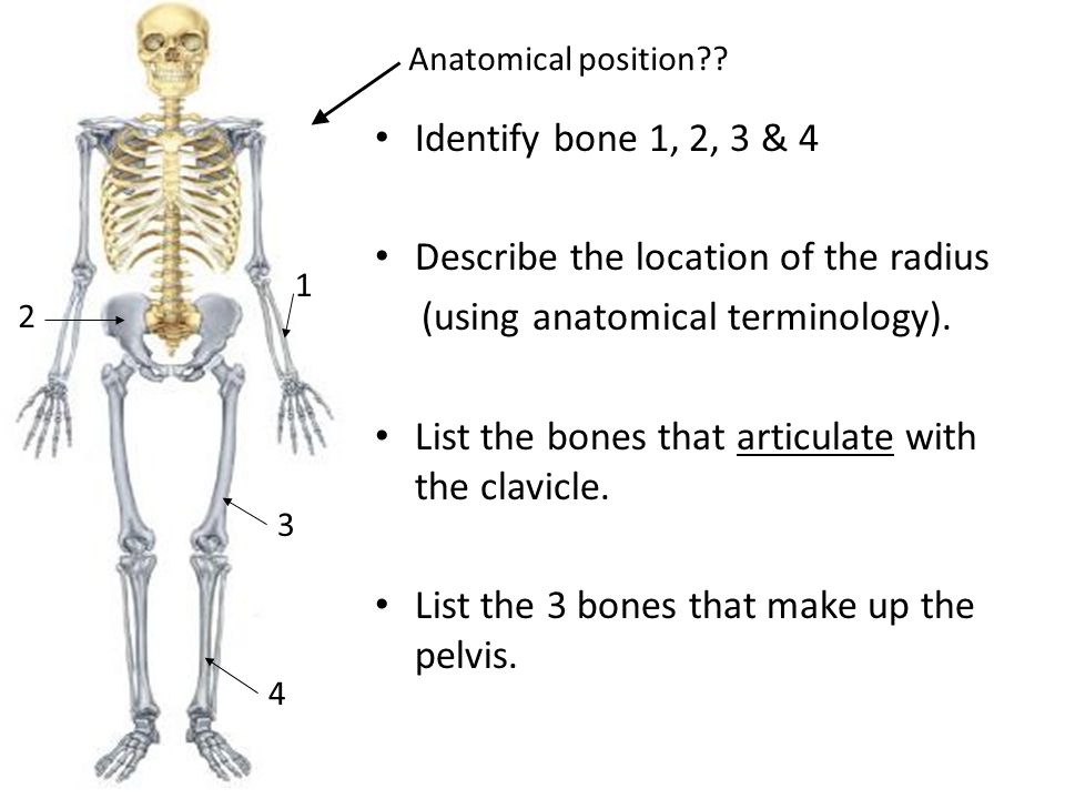 """To name all of our 206 bones!"""" - ppt video online download"""