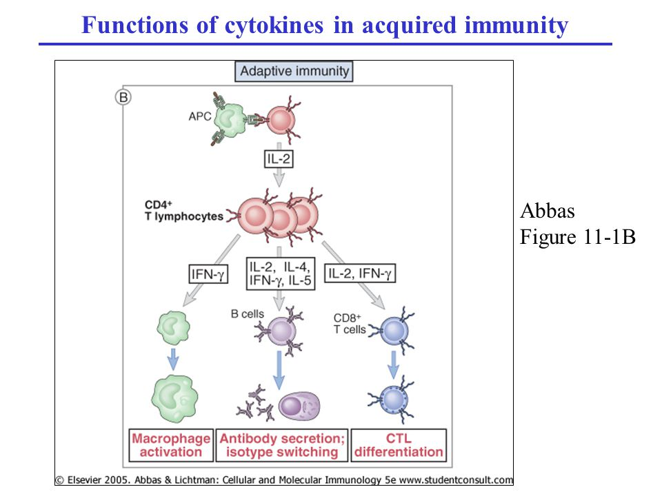 Functions of cytokines in acquired immunity