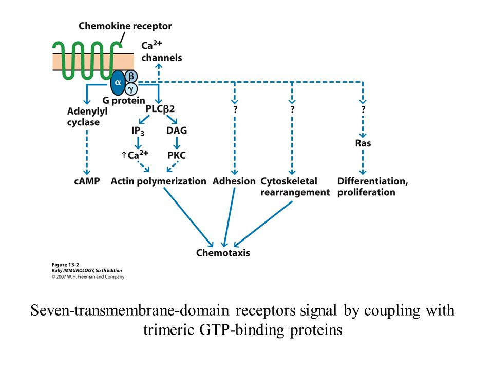 Seven-transmembrane-domain receptors signal by coupling with trimeric GTP-binding proteins