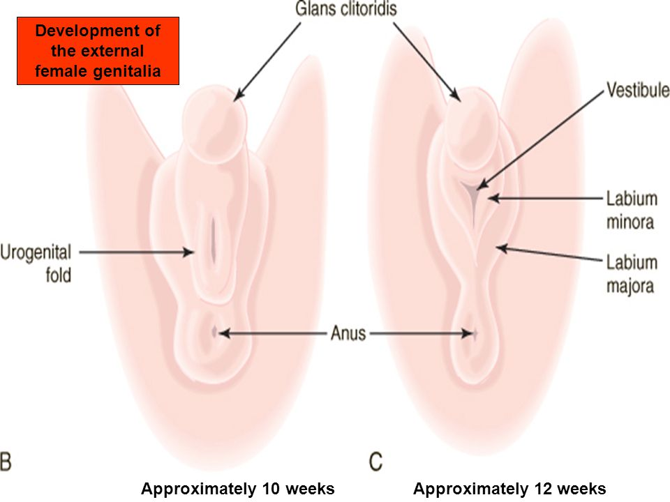 Normal And Abnormal Embryology Of The Female Genital Tract Ppt