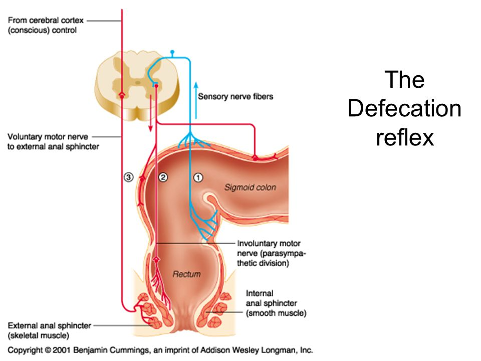 Chapter 24 The Digestive System Ppt Download