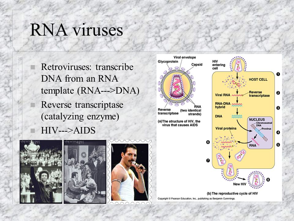 RNA viruses Retroviruses: transcribe DNA from an RNA template (RNA--->DNA) Reverse transcriptase (catalyzing enzyme)