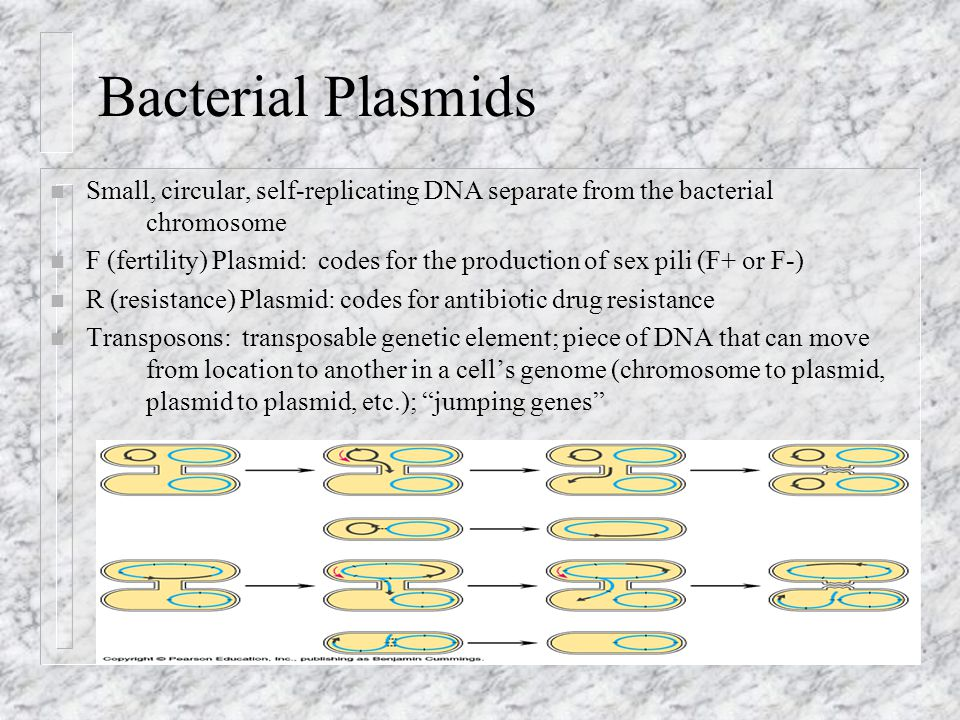 Bacterial Plasmids Small, circular, self-replicating DNA separate from the bacterial chromosome.