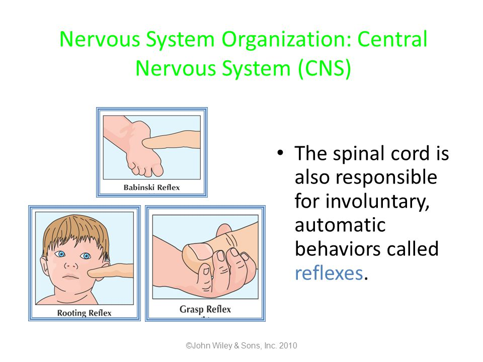 Nervous System Organization: Central Nervous System (CNS)