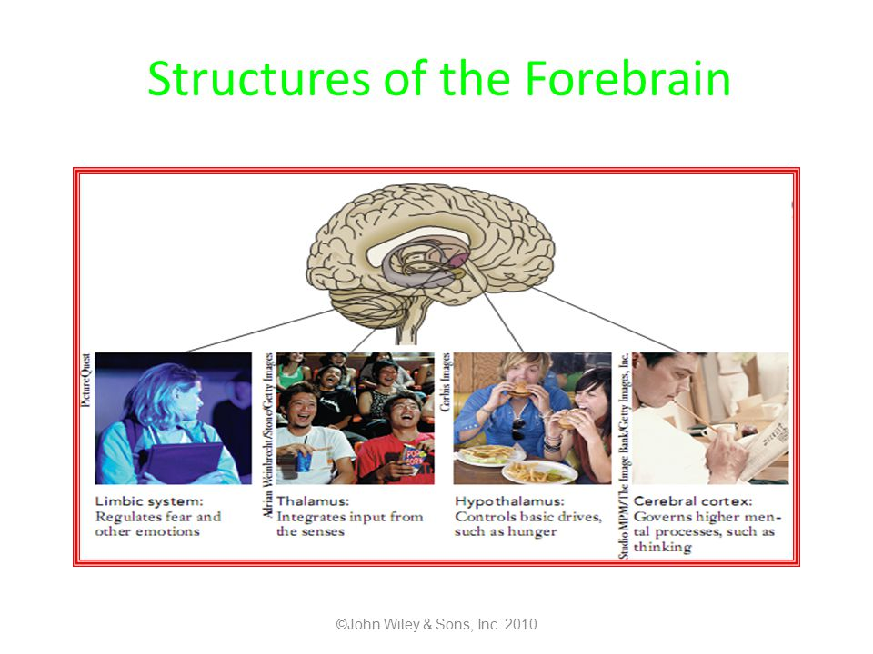 Structures of the Forebrain