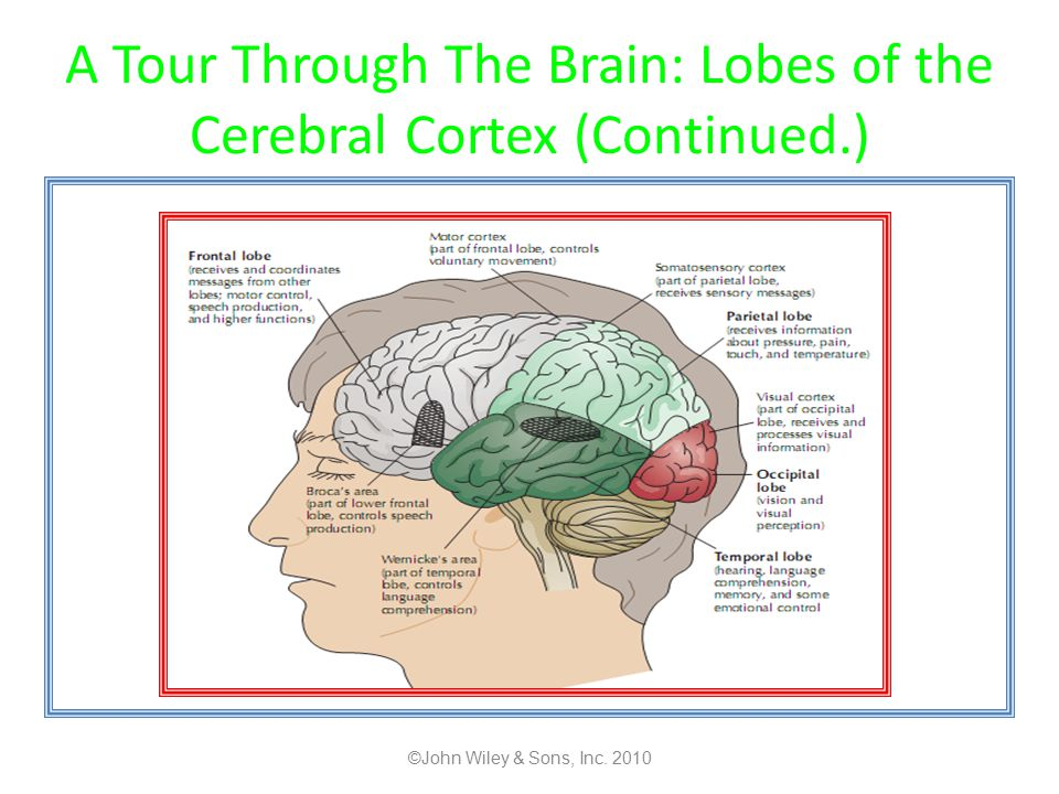 A Tour Through The Brain: Lobes of the Cerebral Cortex (Continued.)