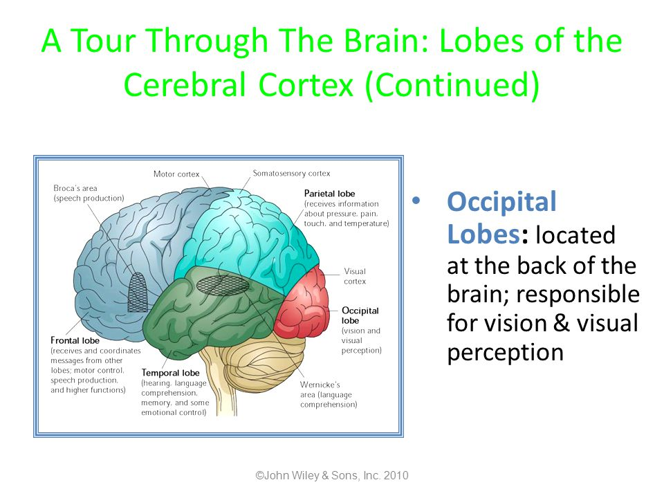 A Tour Through The Brain: Lobes of the Cerebral Cortex (Continued)