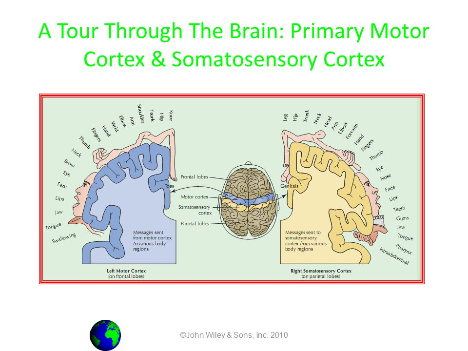 A Tour Through The Brain: Primary Motor Cortex & Somatosensory Cortex