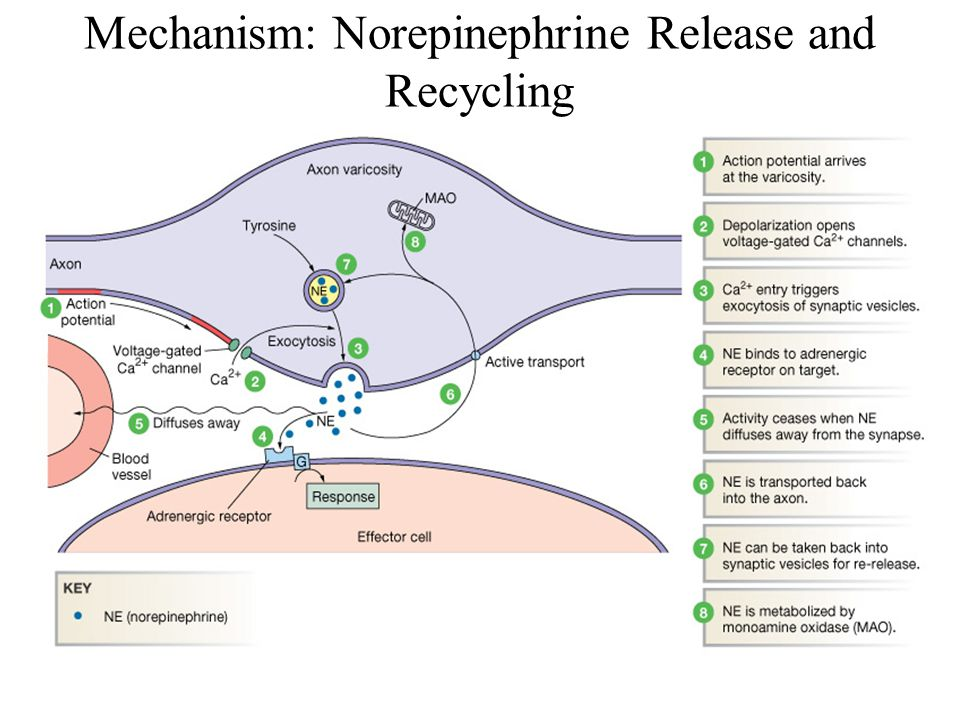 Mechanism: Norepinephrine Release and Recycling