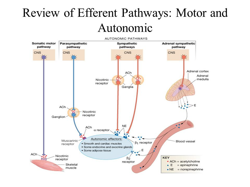Review of Efferent Pathways: Motor and Autonomic