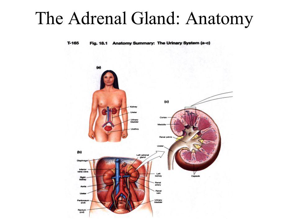 Adrenal Gland Ppt Video Online Download
