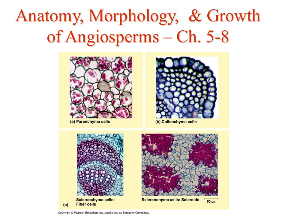 Anatomy, Morphology, & Growth of Angiosperms – Ch ppt download