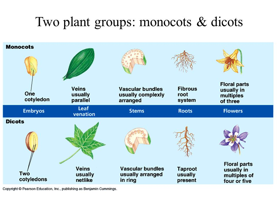 Anatomy Morphology Growth Of Angiosperms Ch Ppt Download
