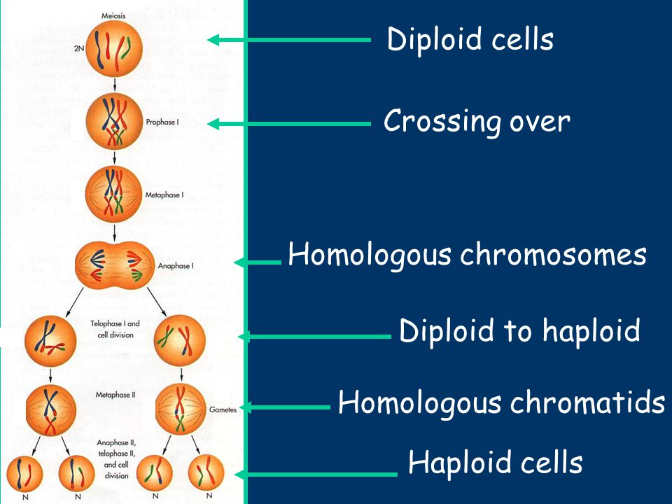 Chromosomes: the cellu...