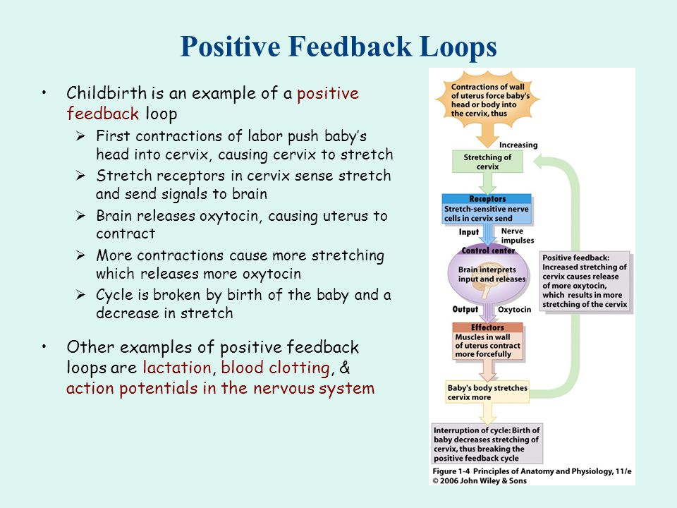 Positive And Negative Feedback Mechanisms Worksheet Answers ...