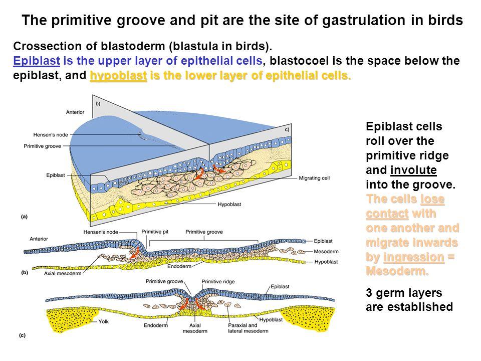 gastrulation in birds