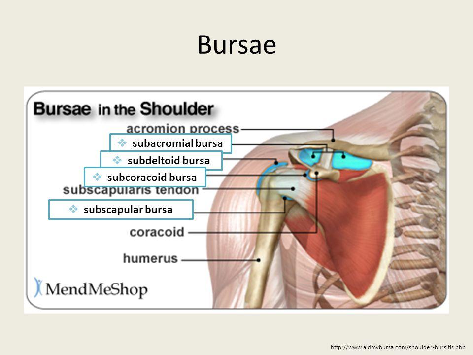 Perfect Subdeltoid Bursa Ornament Anatomy And Physiology Biology