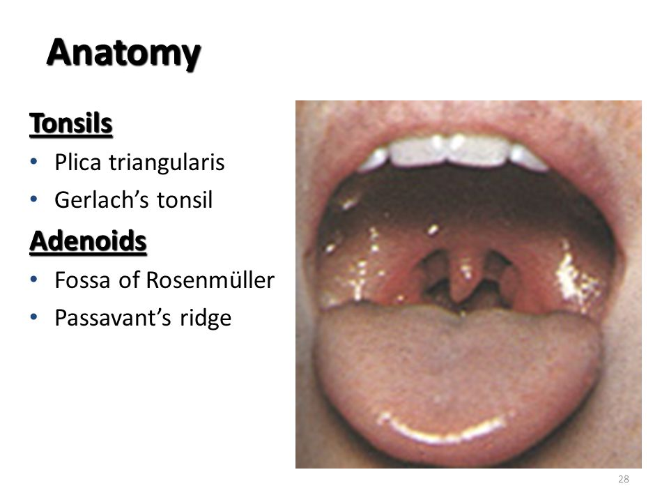 Fancy Tonsil Anatomy Pictures Elaboration - Anatomy And Physiology ...