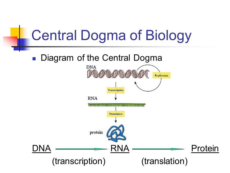 How Can Dna Be Used By The Cell To Make A Protein Ppt Video