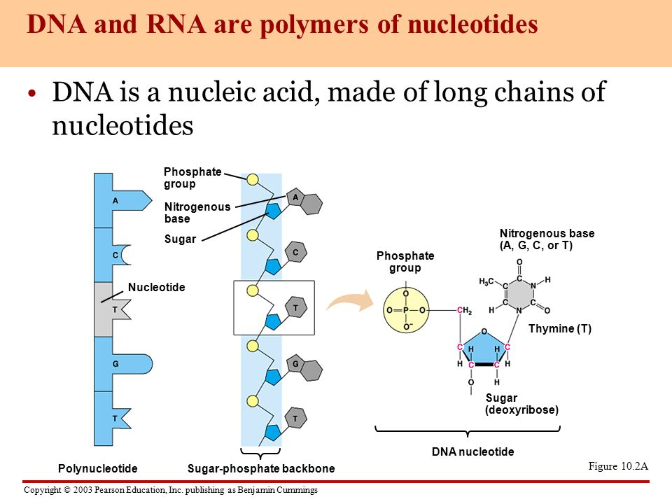 DNA+and+RNA+are+polymers+of+nucleotides 1 dna, rna structure 2 transcription, translation ppt video