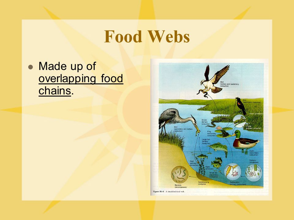 Food Webs Made up of overlapping food chains.