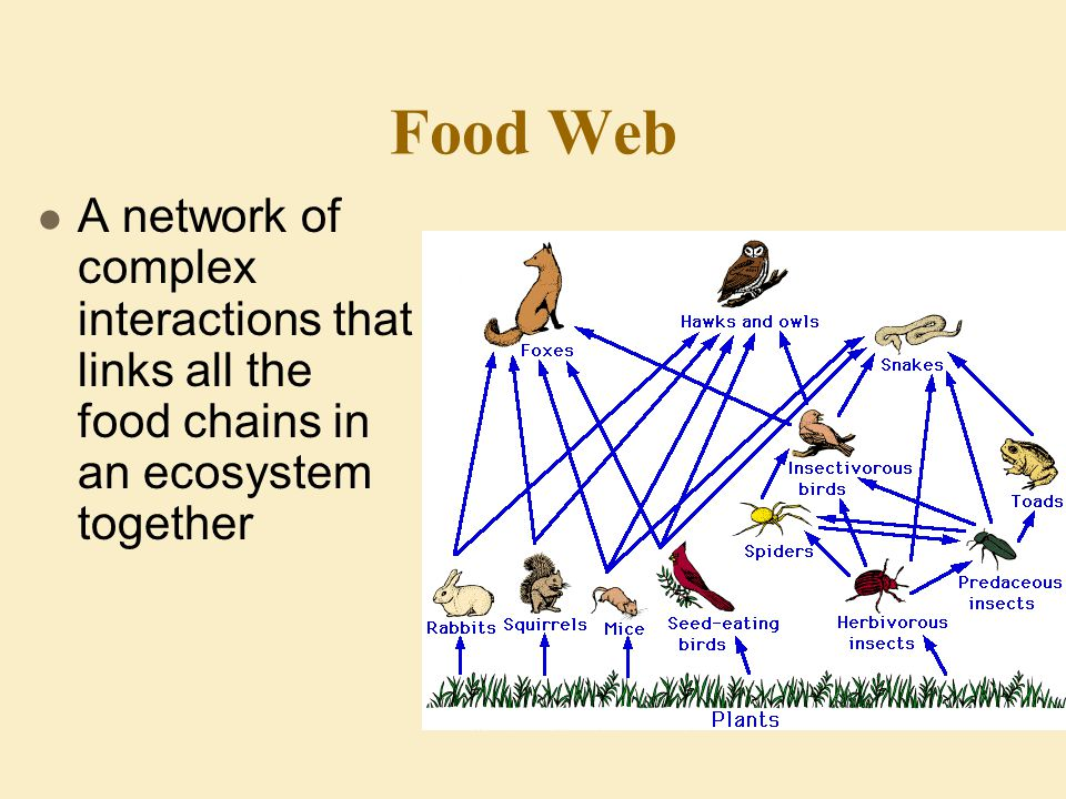 Food Web A network of complex interactions that links all the food chains in an ecosystem together