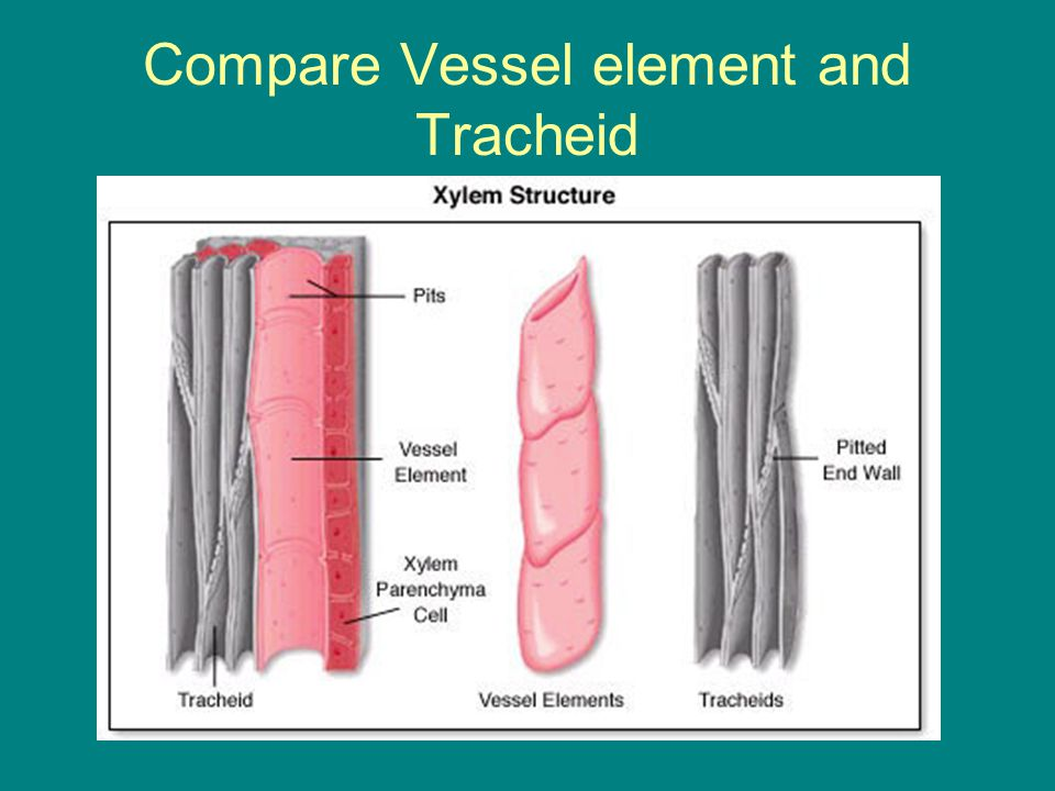 Compare Vessel element and Tracheid