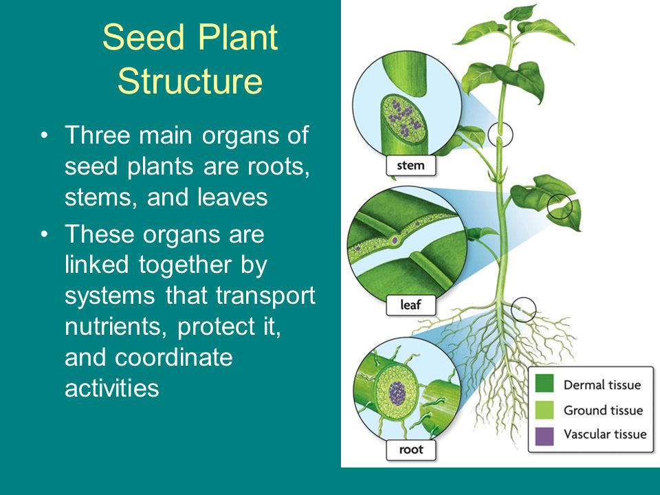 Seed Plant Structure Three main organs of seed plants are roots, stems, and leaves.