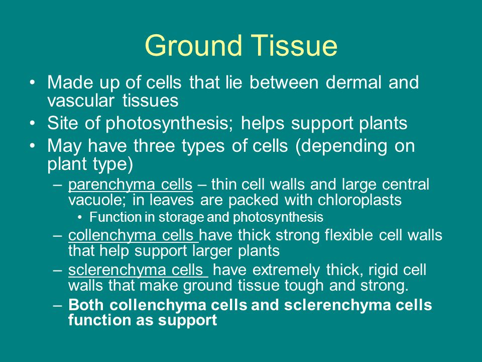 Ground Tissue Made up of cells that lie between dermal and vascular tissues. Site of photosynthesis; helps support plants.