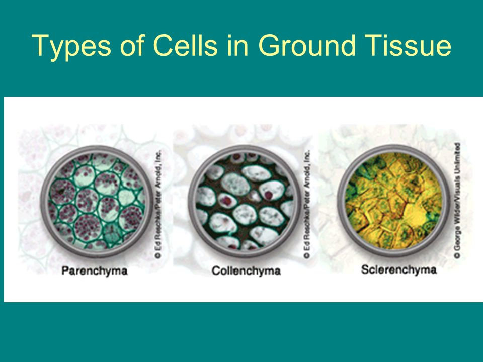 Types of Cells in Ground Tissue