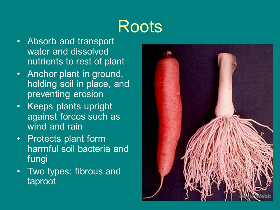 Roots Absorb and transport water and dissolved nutrients to rest of plant. Anchor plant in ground, holding soil in place, and preventing erosion.