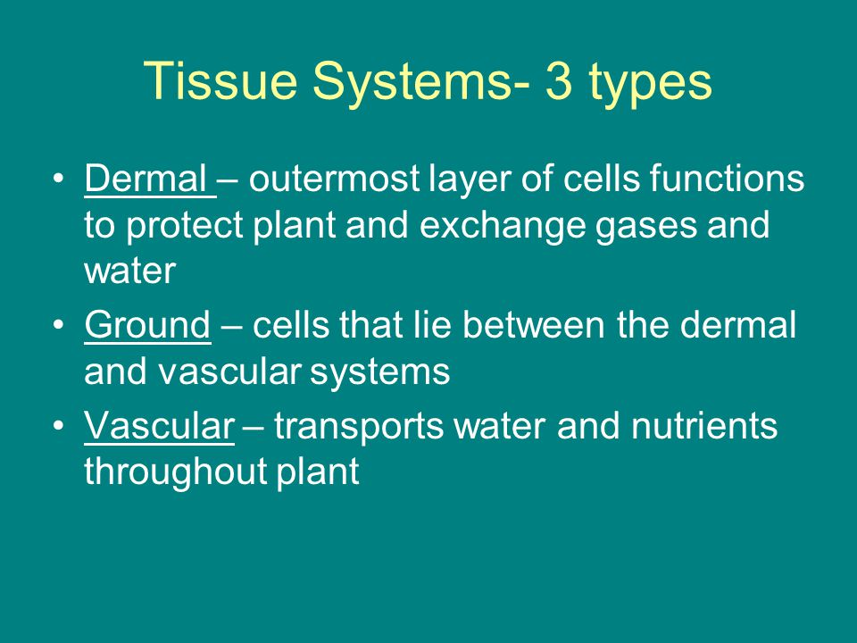Tissue Systems- 3 types Dermal – outermost layer of cells functions to protect plant and exchange gases and water.