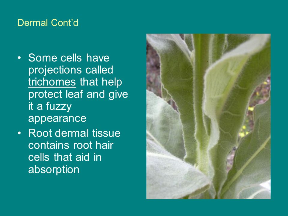 Root dermal tissue contains root hair cells that aid in absorption