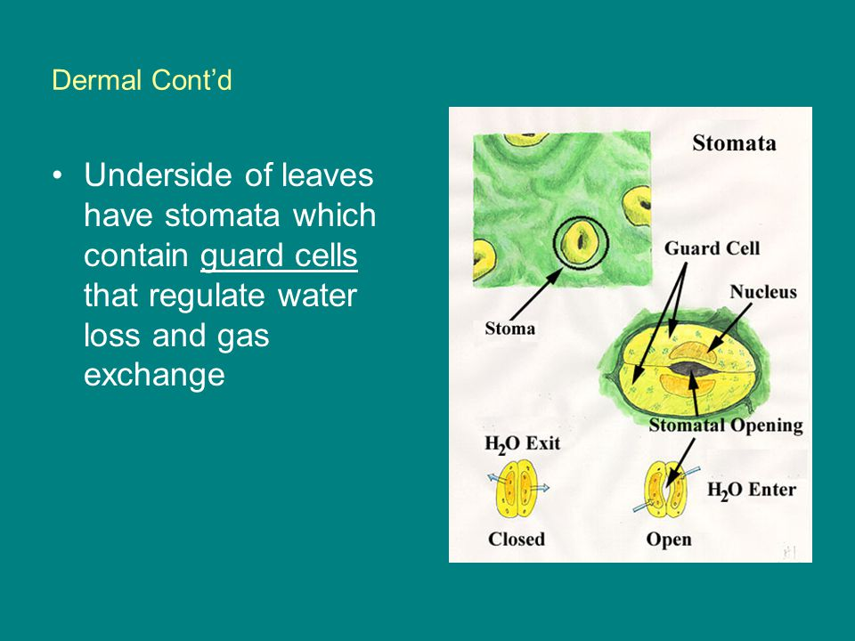 Dermal Cont'd Underside of leaves have stomata which contain guard cells that regulate water loss and gas exchange.