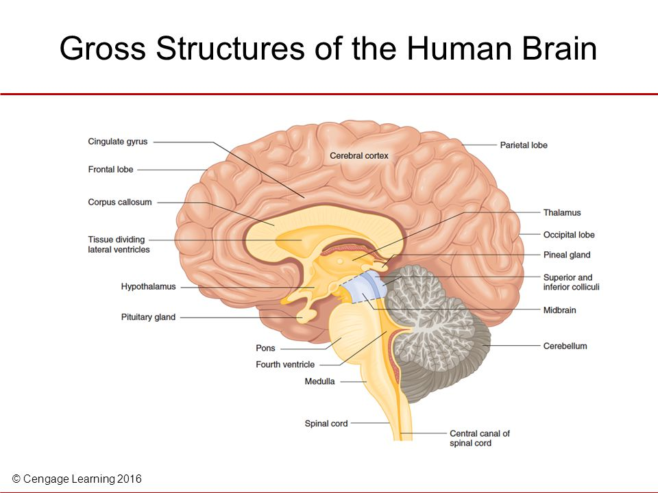 Gross Structures of the Human Brain