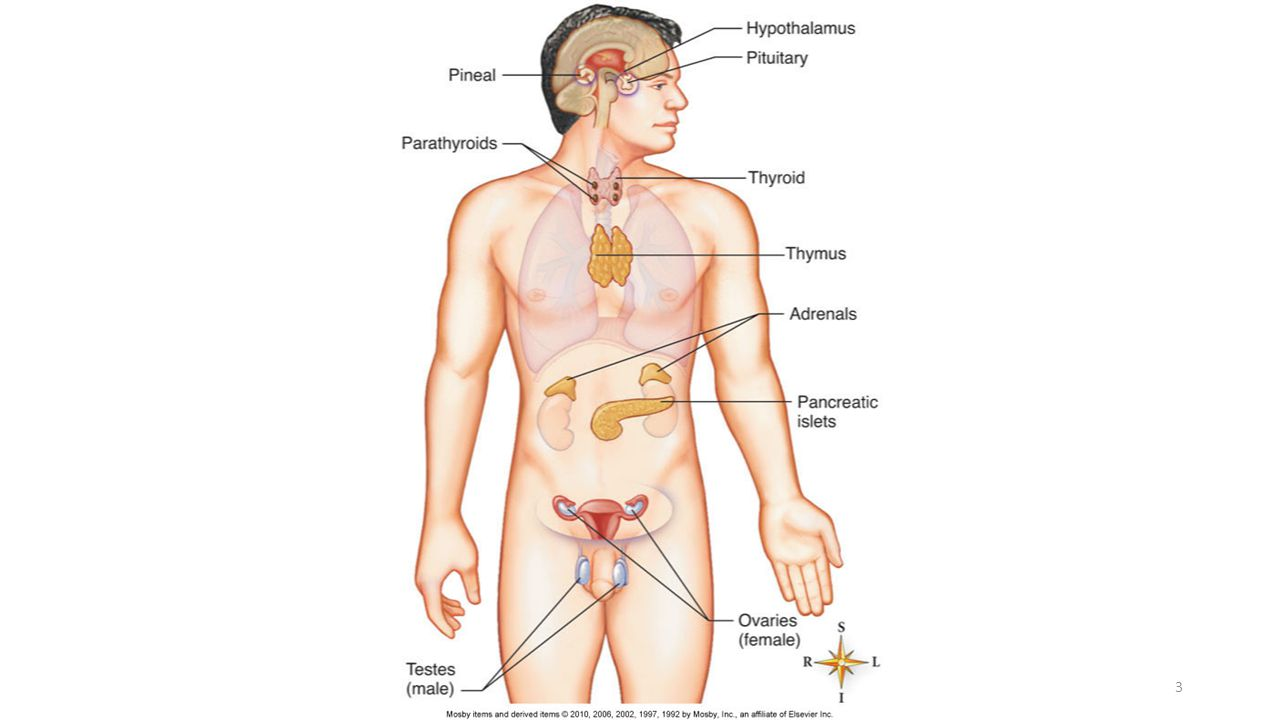 Human Anatomy & Physiology - P. Wilson - ppt video online download