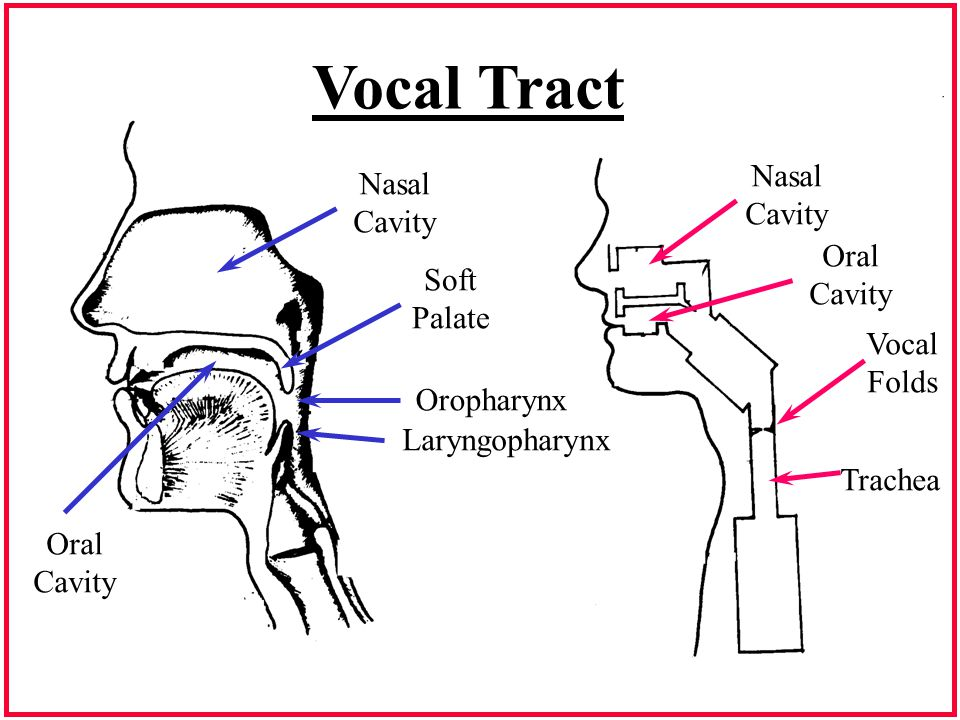 Supralaryngeal Anatomy - ppt download