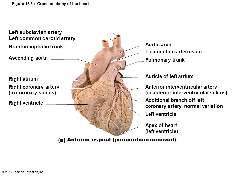 18 The Cardiovascular System The Heart Part A Ppt Download