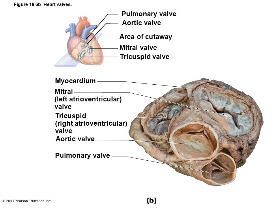 18 The Cardiovascular System: The Heart: Part A. - ppt download