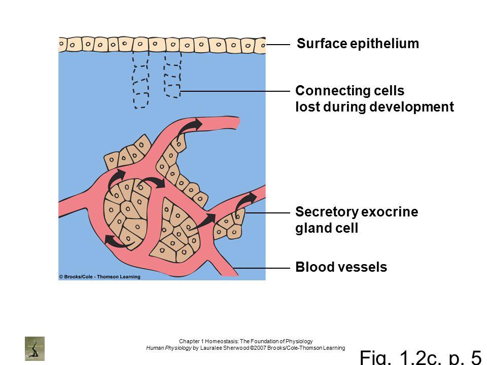 Homeostasis in anatomy